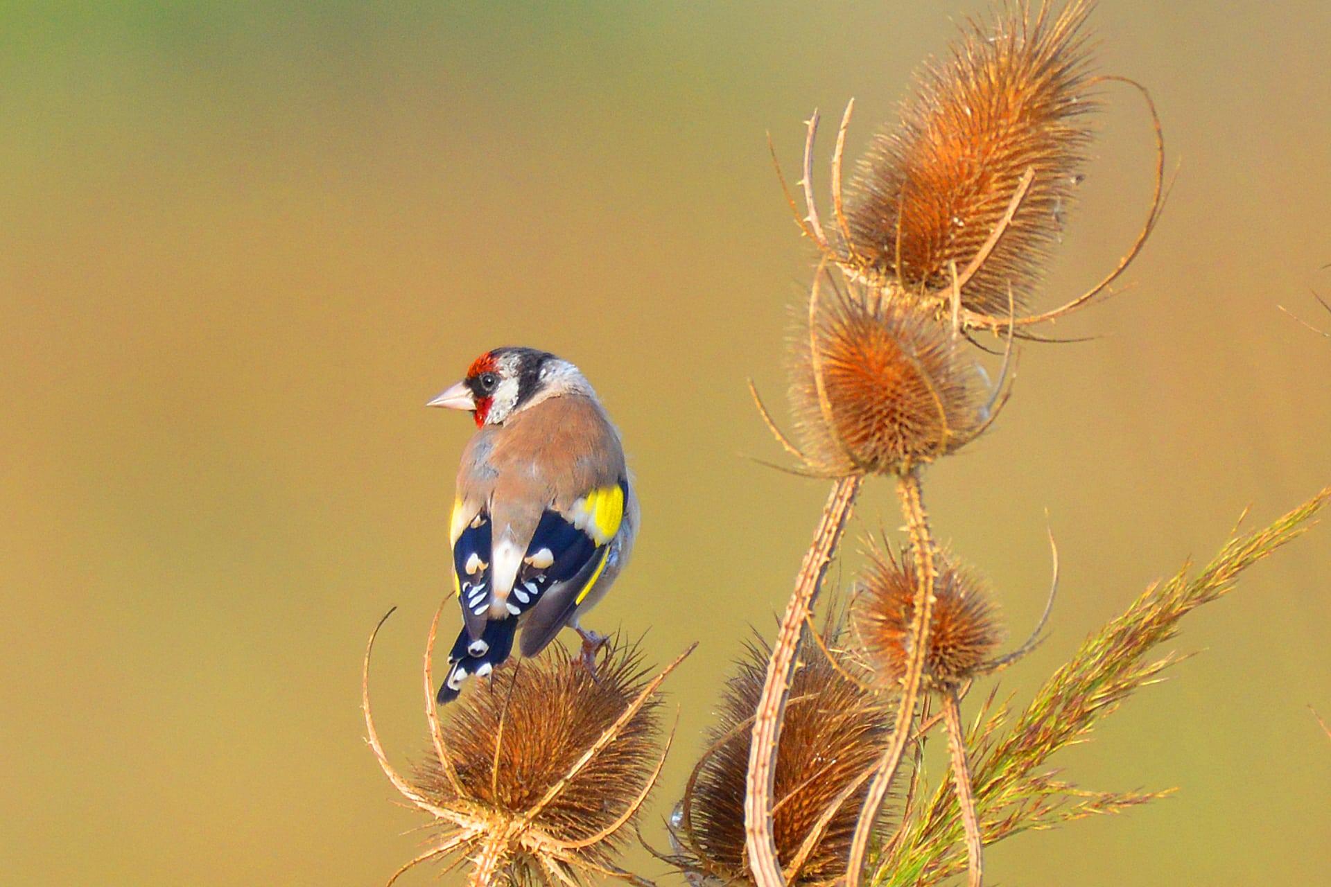 Oiseaux du jardin - Chardonneret élégant