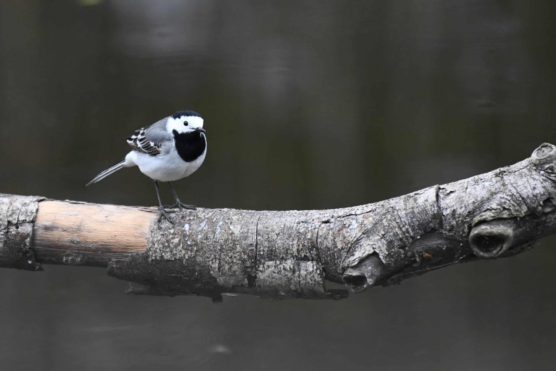 Bergeronnette, oiseau du jardin facile à observer